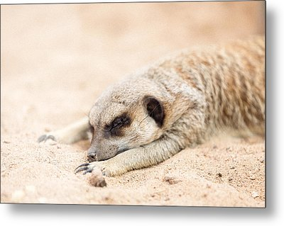 Long Day In Meerkat Village Metal Print