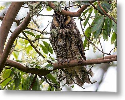 Long-eared Owl Metal Print by David Gn