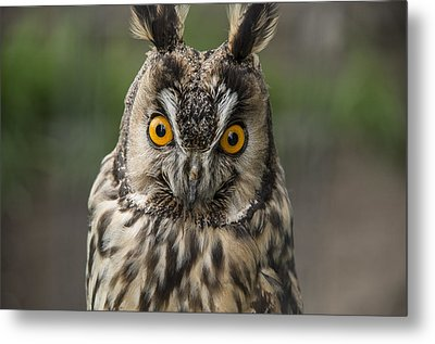 Long-eared Owl Metal Print by Martina Fagan