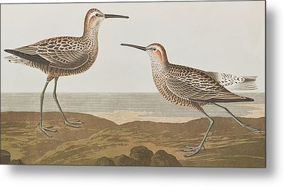 Long-legged Sandpiper Metal Print by John James Audubon