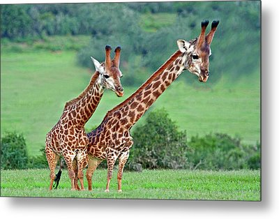 Long Necks Together Metal Print by Bruce Iorio