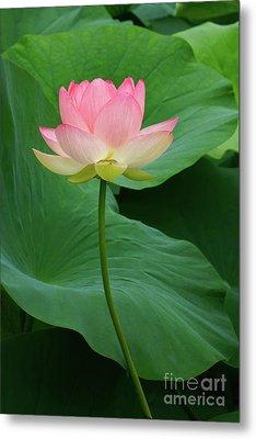 Long Stem Lotus Beauty Metal Print by Byron Varvarigos