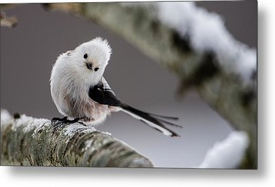 Metal Print featuring the photograph Long-tailed Look by Torbjorn Swenelius