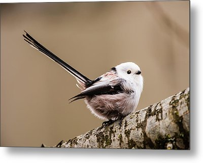 Metal Print featuring the photograph Long-tailed Tit Wag The Tail by Torbjorn Swenelius