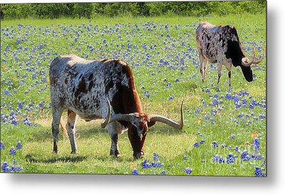 Longhorns In The Bluebonnets Metal Print