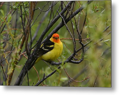 Looking At You - Western Tanager Metal Print