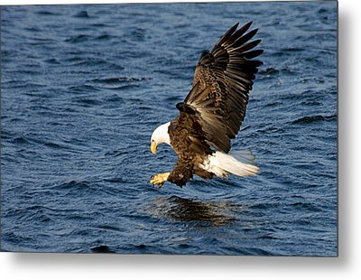 Looking For Fish Metal Print by Larry Ricker
