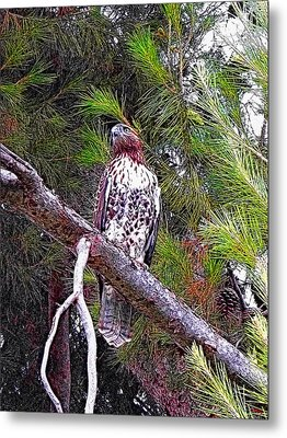 Looking For Prey - Red Tailed Hawk Metal Print by Glenn McCarthy Art and Photography