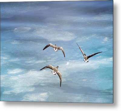 Loons Over Ice - Three Metal Print