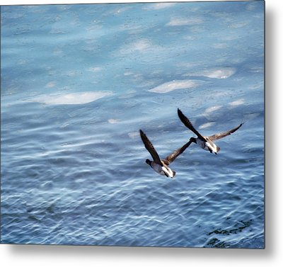 Loons Over Ice - Two Metal Print
