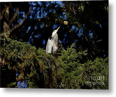 Metal Print featuring the photograph Lost Lagoon Great Blue Heron 5 by Terry Elniski