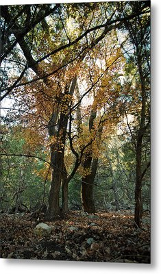 Metal Print featuring the photograph Lost Maples State Park Tree 41 by Karen Musick