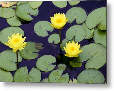 Loti In Lilly Pads Metal Print