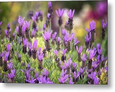 Metal Print featuring the photograph Lots Of Lavender  by Saija Lehtonen