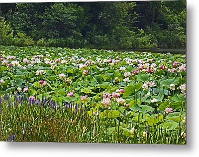 Lotus And Pickerelweed Metal Print