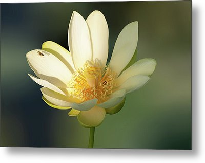Metal Print featuring the photograph Lotus Beauty by Carolyn Dalessandro