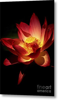 Lotus Blossom Metal Print by Paul W Faust -  Impressions of Light