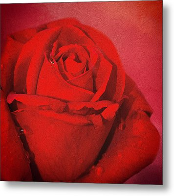 Metal Print featuring the photograph Love Is A Red Rose With Raindrops by Diane Schuster