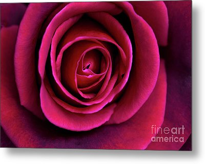 Metal Print featuring the photograph Love Is A Rose by Linda Lees