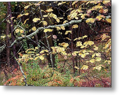 Lovely Autumn Witch Hazel -   Metal Print