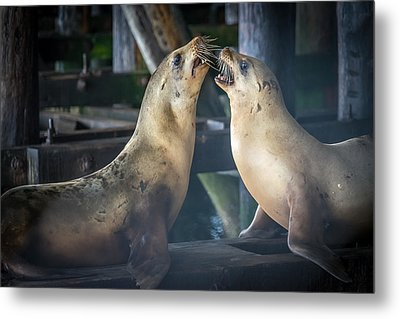 Harbor Seals Lovers Quarrel Metal Print by James Hammond