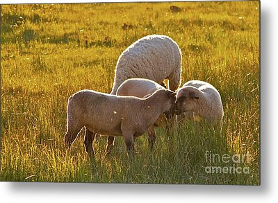 Lovin Lambs Metal Print by Gus McCrea