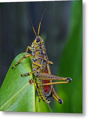 Lubber Grasshopper Metal Print by Richard Rizzo