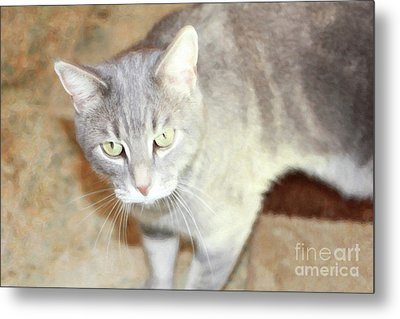 Lucius The Marble Gray Tabby Metal Print by Donna Munro