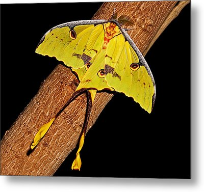 Metal Print featuring the photograph Luna Moth by Judy Vincent