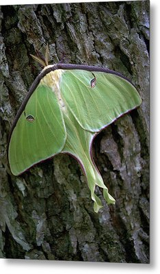 Metal Print featuring the photograph Luna Moth by Marie Hicks