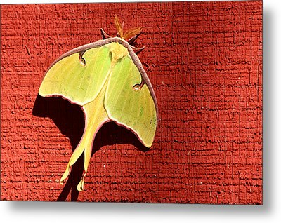Luna Moth On Red Barn Metal Print