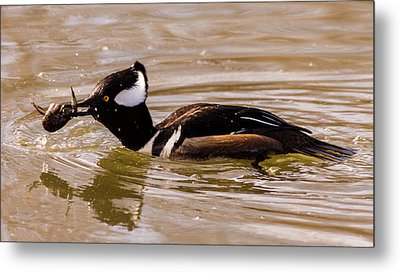 Metal Print featuring the photograph Lunchtime For The Hooded Merganser by Randy Scherkenbach
