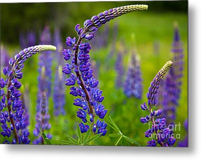 Lupine Curves Metal Print by Susan Cole Kelly