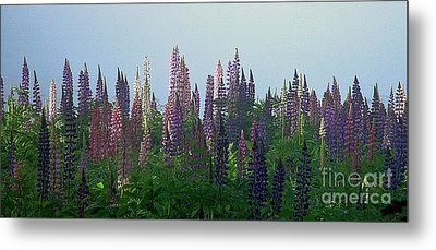 Lupine In Morning Light Metal Print by Christopher Mace