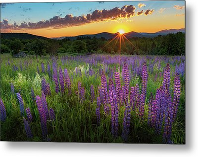 Metal Print featuring the photograph Lupine Lumination by Bill Wakeley