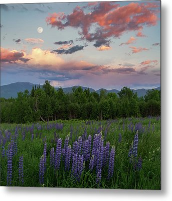 Lupine Moon Metal Print by Bill Wakeley