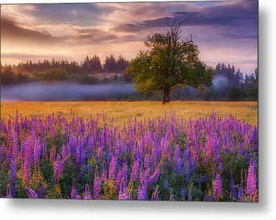 Lupine Sunrise Metal Print by Darren White