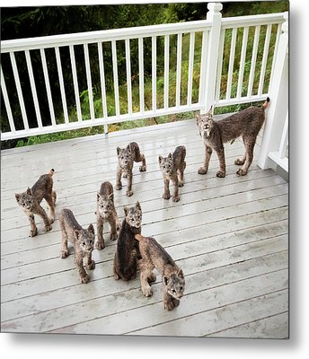 Lynx Family Portrait Metal Print