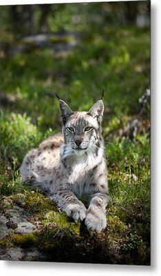 Metal Print featuring the photograph Lynx by Yngve Alexandersson