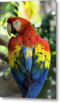 Macaw Parrot  Metal Print