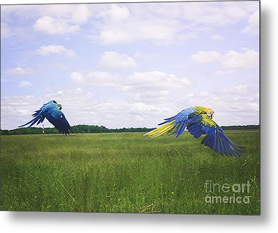 Macaws Flying Together Metal Print by Melissa Messick