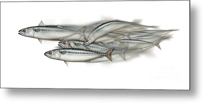 Mackerel School Of Fish - Scomber - Nautical Art - Seafood Art - Marine Art -game Fish Metal Print