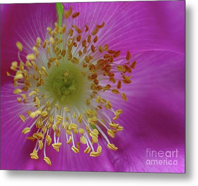 Macro Rosehip Bloom Metal Print
