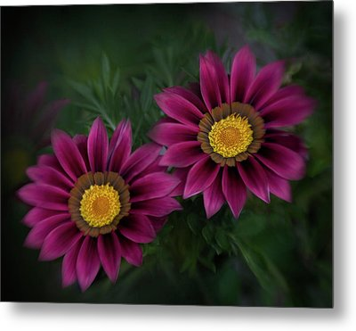 Metal Print featuring the photograph Magenta African Daisies by David and Carol Kelly