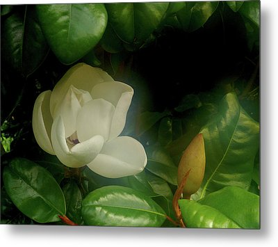 Magnolia Metal Print by Evelyn Tambour