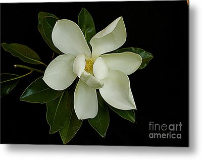 Metal Print featuring the photograph Magnolia Flower by Nicola Fiscarelli