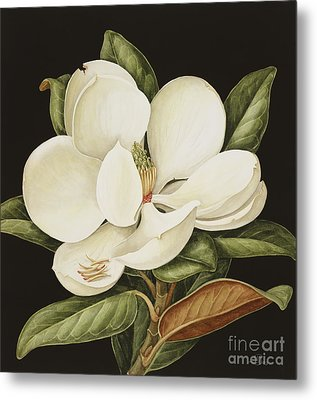 Magnolia Grandiflora Metal Print by Jenny Barron