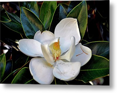 Metal Print featuring the photograph Magnolia by Helen Haw