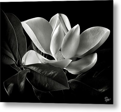 Magnolia In Black And White Metal Print by Endre Balogh