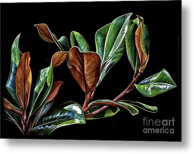 Magnolia Leaves Metal Print by Walt Foegelle